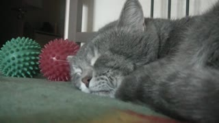 Sleeping cat quacks when his owner coughs - Video