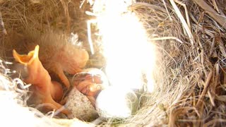 The chick hatches from the egg - Video