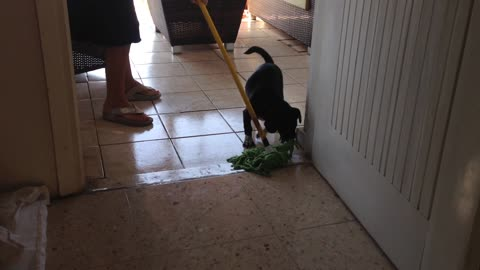 Puppy won't let woman mop the floor