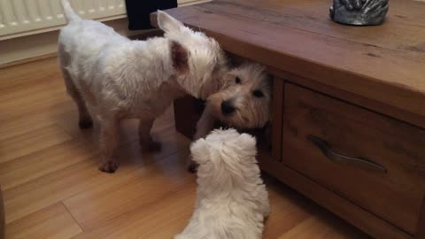Trio of Terriers attempt to squeeze into tight spot