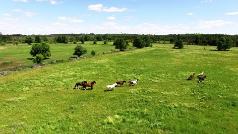 Clydesdale horses run free in meadow and roll with joy