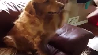 Golden Retriever knows difference between left and right paw