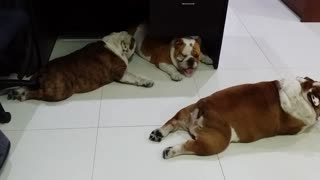 Lazy English Bulldogs sprawl out across office floor - Video