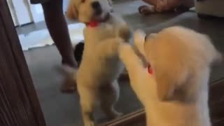 Puppy really wants to make contact with mirror reflection - Video