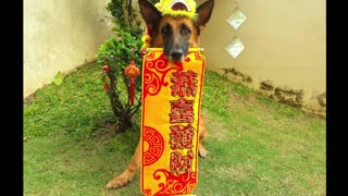 Acrobatic dog celebrates Chinese New Year - Video