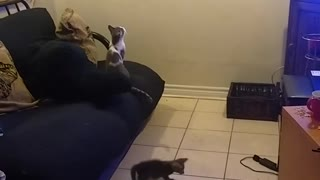 One laser pointer vs three kittens