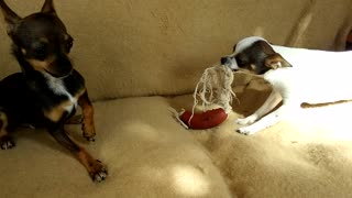 chihuahua dog puppies playing angry - Video