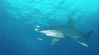 Diver has scary encounter with shark in the Red Sea - Video