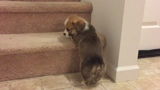 Corgi puppy adorably struggles to climb staircase