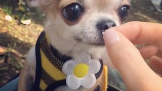 Adorable chihuahua feeding time - Video