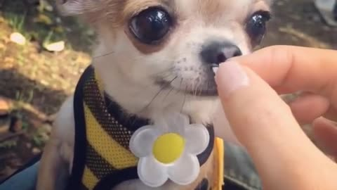 Adorable chihuahua feeding time