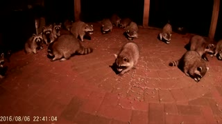 Raccoons Eating Dog Food - Video
