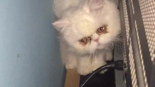 cat playing funny behind the tv - Video
