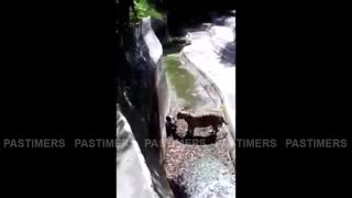 Tiger has Attacked A Man in Delhi Zoo - LIVE - Video