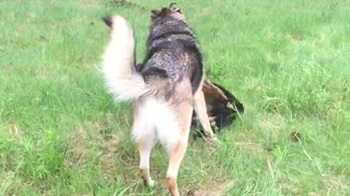 German Shepherd puppy learning to play fight.  - Video
