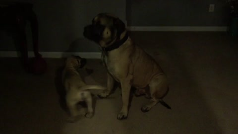 English Mastiff Puppy picking on kitten