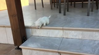 Brave Puppy Conquers The Stairs For The First Time - Video