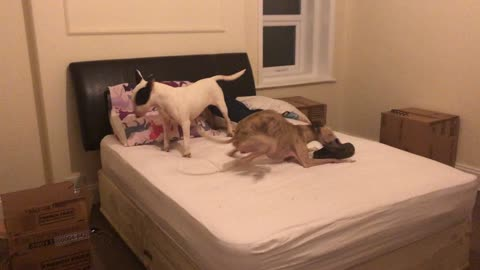 William the whippet delights as he zooms around Hermione the English Bull Terrier.