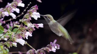 Breathtaking HD footage of exotic hummingbirds - Video