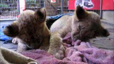 Lion cubs try their best to stay awake