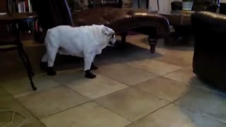English Bulldog humorously walks in new boots - Video