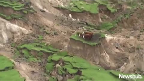 3 Cows Stranded After New Zealand Earthquake Are Rescued