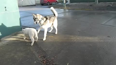 Husky and lamb are going to be best friends