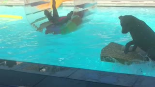 Pudge the Pit falls into his pool. - Video