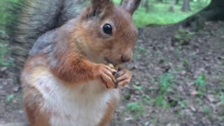 Squirrel eats nuts - Video