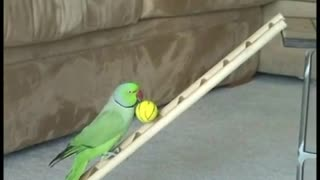 Amazing Bird Tricks - Video