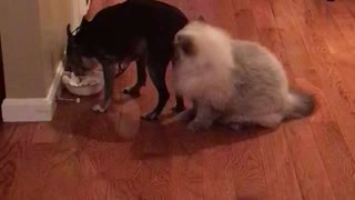 Cat disturbingly obsessed with dog's butt - Video