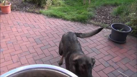 German shepherd is crazy about food