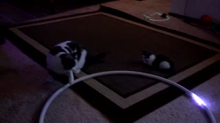 Kittens mesmerized by light-up hula hoop - Video