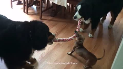 Tiny Dachshund wins epic tug-of-war battle against two Bernese Mountain dogs