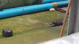 Rat Plays Tug Of War - Video