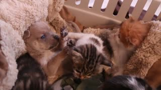Newborn Puppy Adorably Bonds With New Cat Family