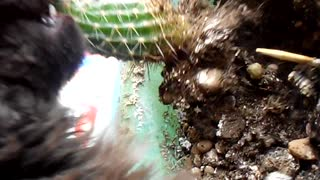 Cat Eats Cactus - Video