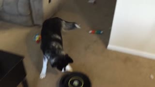 Siberian Husky challenges a Roomba - Video