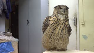 Owl Shows Off Courting Plumage - Video