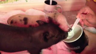 Spoon-feeding adorable baby pigs