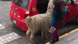Nothing better to be in mood than watching llama getting transported