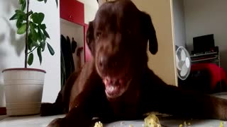 DOG MAKES FUNNY FACES WHILE EATING CORN