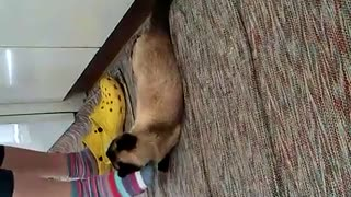 When Siamese cat says enough, it's enough - Video