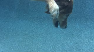 Determined dog dives to bottom of pool to retrieve ball - Video
