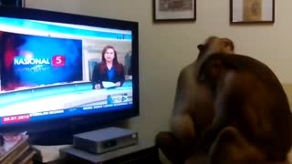 Monkeys Watch Themselves On TV - Video