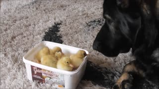 Motherly Dog Immediately Falls In Love With Ducklings Upon Introduction  - Video