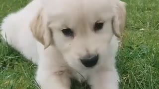 small cute golden dog - Video