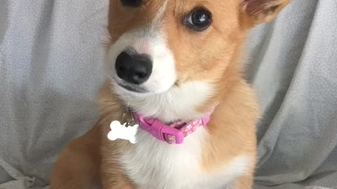 Confused Corgi Puppy