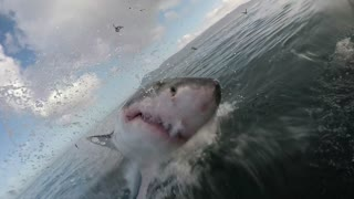 Close Encounter with a Great White - Video