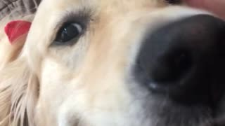 Labrador whines at blue shirt lady kisses - Video